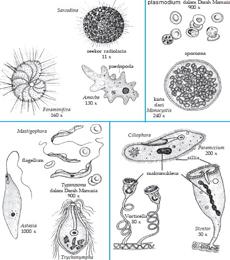 reproduksi protista