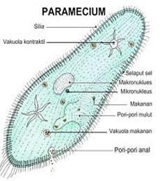 struktur tubuh paramecium