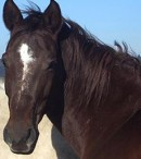 Klasifikasi Kuda