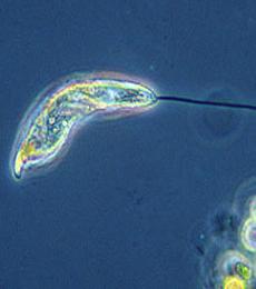 Klasifikasi euglenophyta