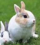 deskripsi kelinci