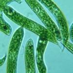 fungsi stigma pada euglena
