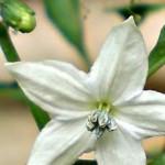 morfologi bunga cabai