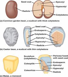 struktur biji dikotil