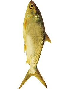 taksonomi ikan bandeng