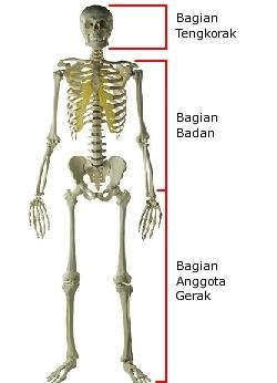 Bagian Bagian Tulang Rangka