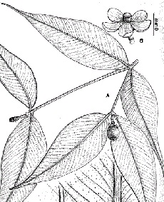 bilangan filotaksis daun