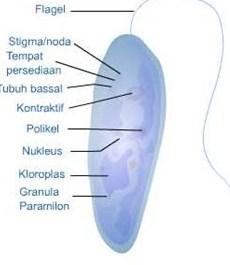 Reproduksi Flagellata