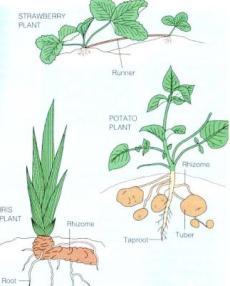 artikel perkembangbiakan vegetatif