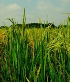 ciri ciri tanaman padi