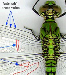 jenis ordo serangga