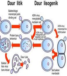 Beda Fase Litik Dan Lisogenik