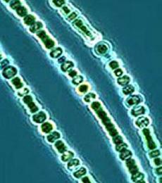 Reproduksi Cyanobacteria