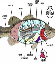 gambar morfologi ikan gabus